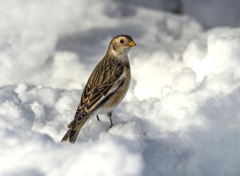 Snow-Bunting (f)
