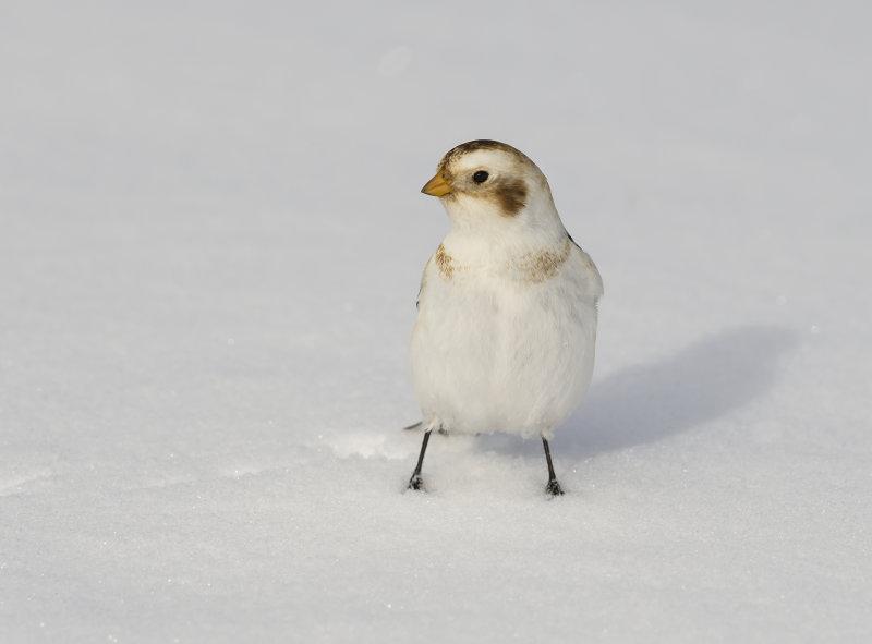 Snow-Bunting (m)