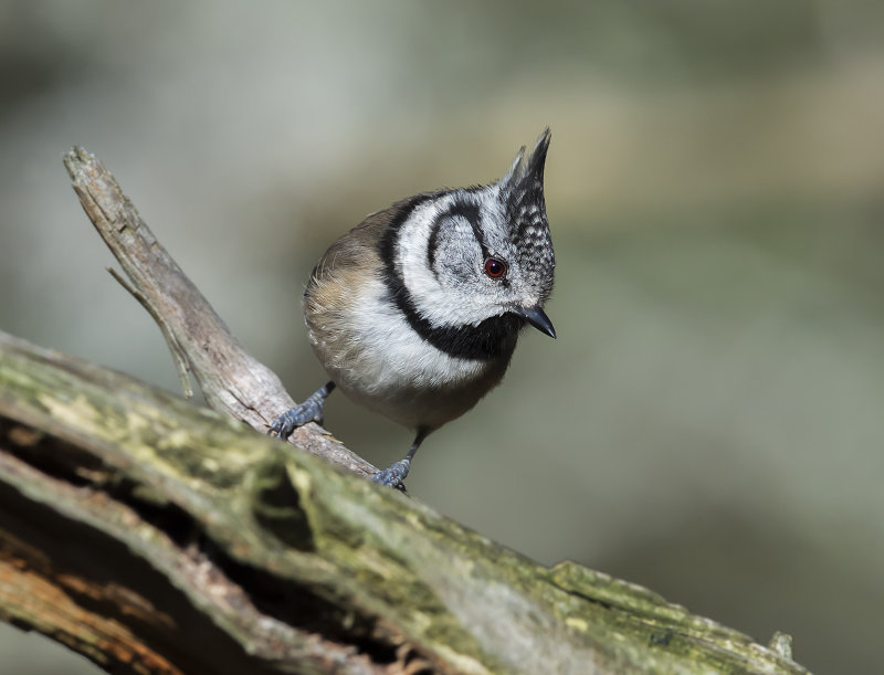 Crested-Tit