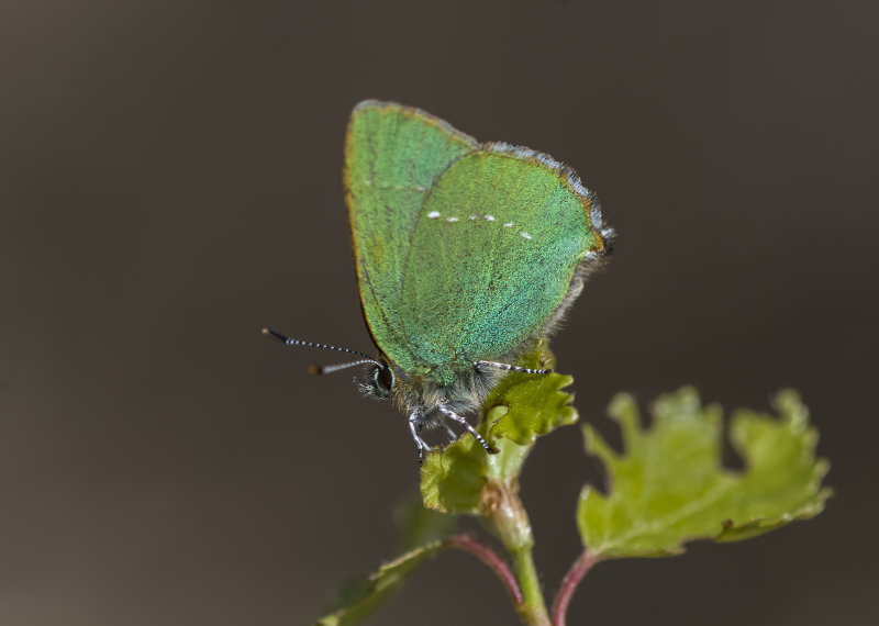 Green-Hairstreak