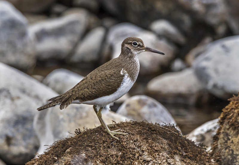 Common-Sandpiper
