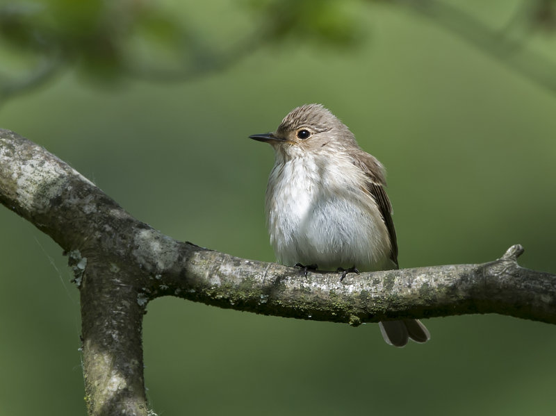 Spotted-Flycatcher