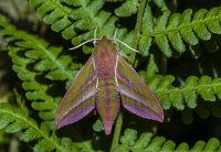 Elephant-Hawk-Moth
