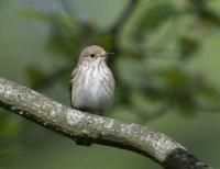Spotted-Flycatcher