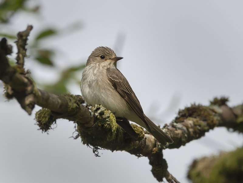 Spotted--Flycatcher