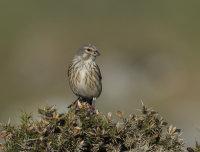 Linnet-female