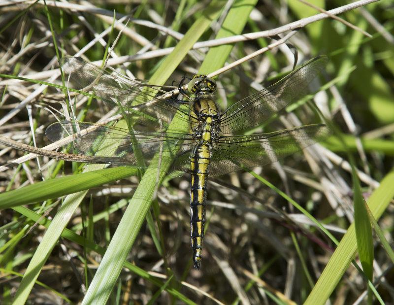 Black-tailed-Skimmer-female