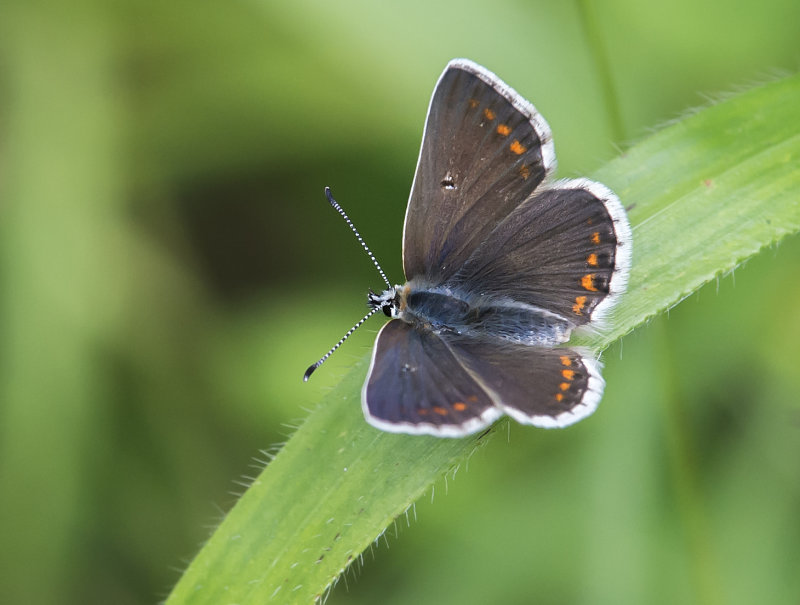 Northern-brown-Argus