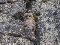 Tawny-Owl (juv)