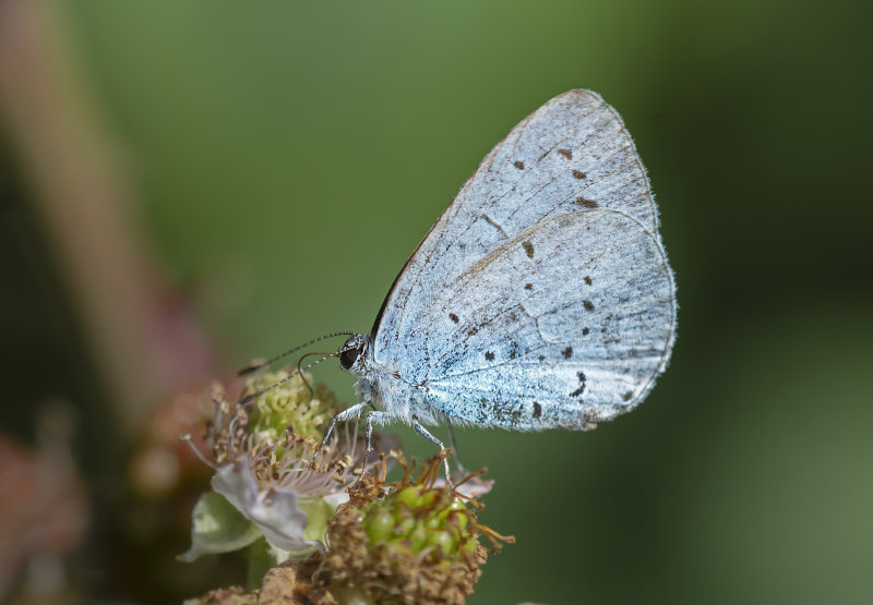 Holly-Blue