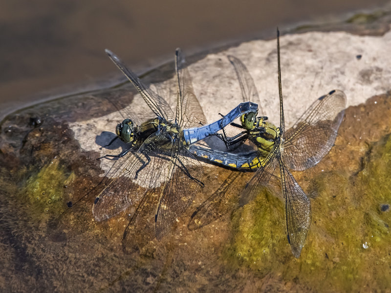 Black-tailed-Skimmers