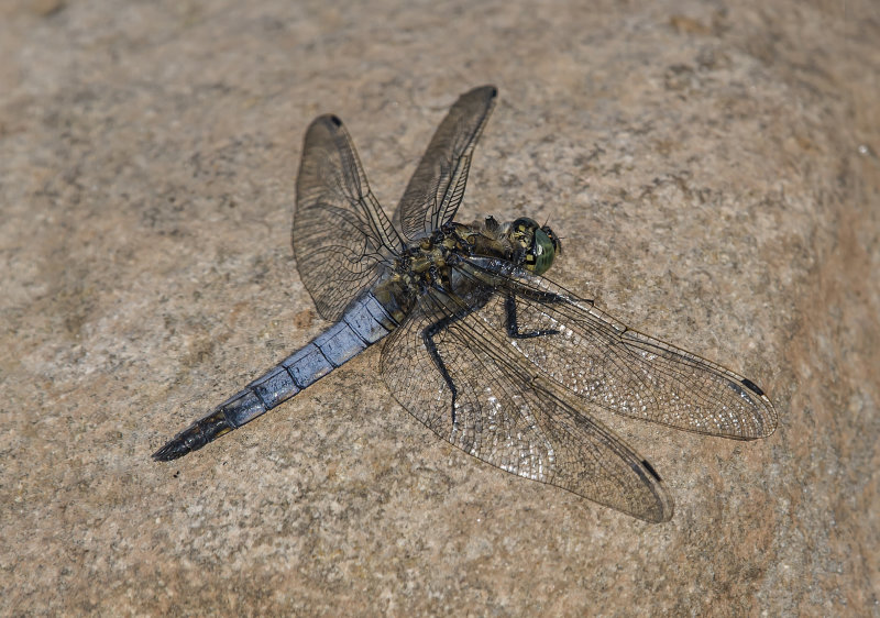 Black-tailed-Skimmer (m)