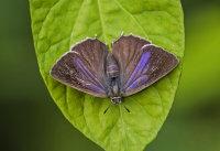 Purple-Hairstreak (f)