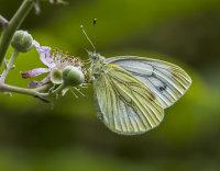 Green-veined-White
