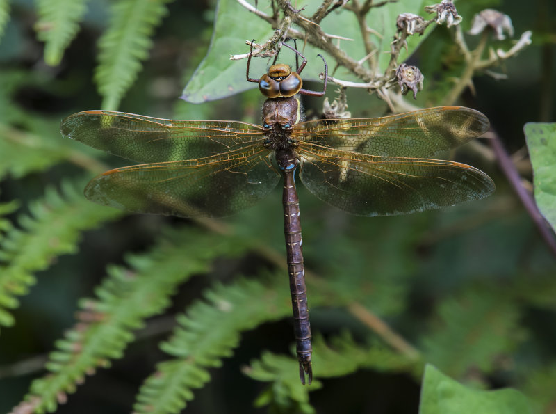 Brown-Hawker (m)