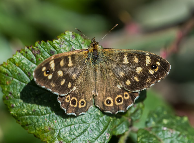 Speckled-Wood (f)