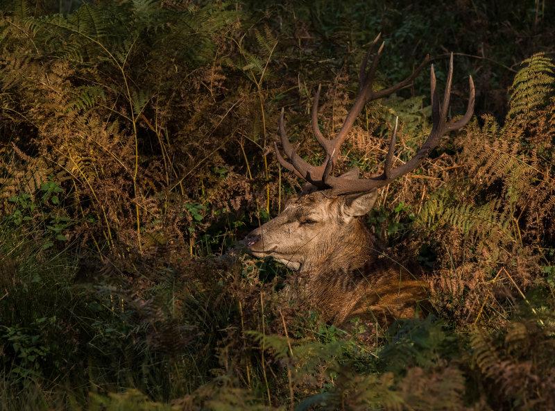 Red-Deer (m)