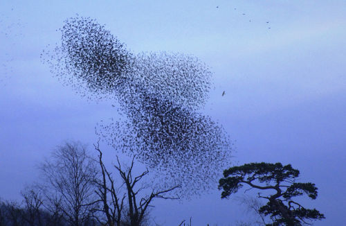 Starlings-And-Sparrow Hawk