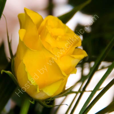 A Yellow Rose Of…