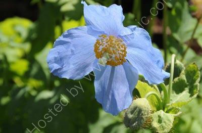 Poppy so Blue