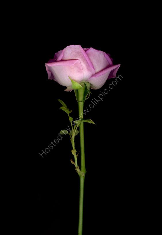 Long Stem Pink Rose