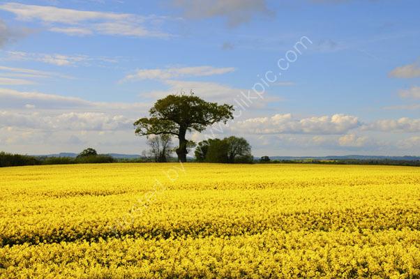 Rapeseed Field, Shropshire