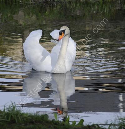 Glide a White Swan