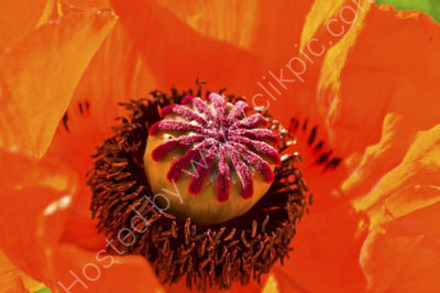 Heart of the Poppy
