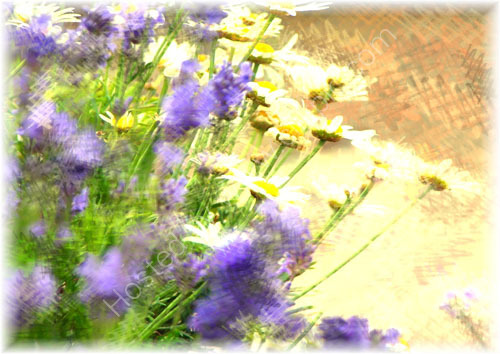 Lavender and Daisies