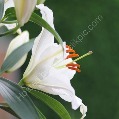 Lily II