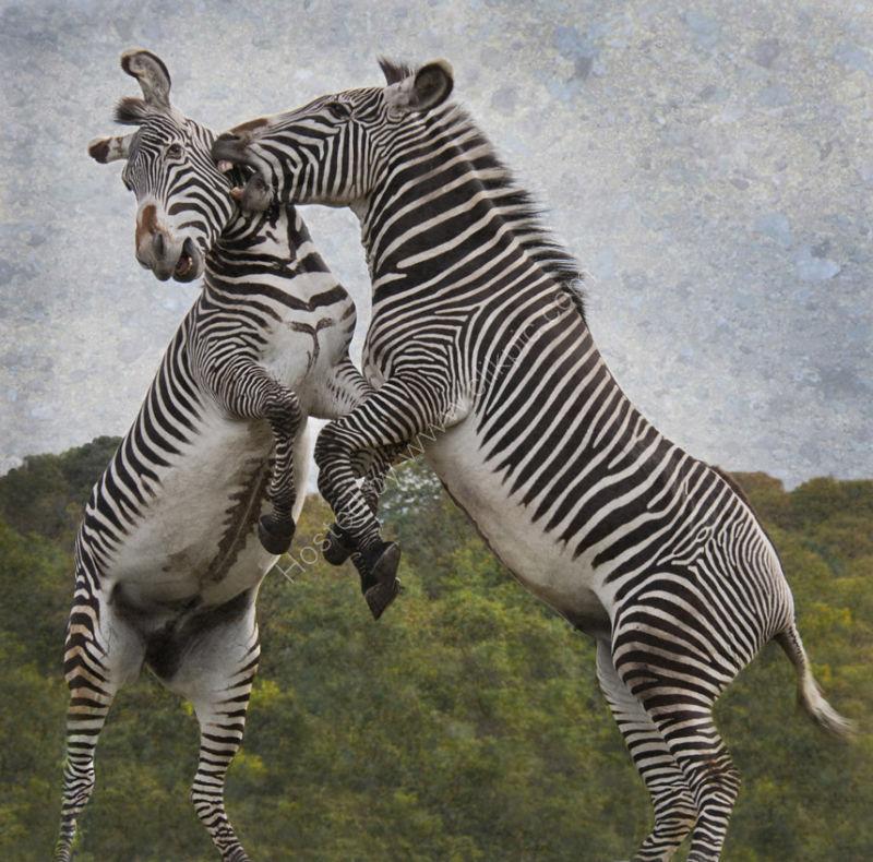 The Zebras Crossing