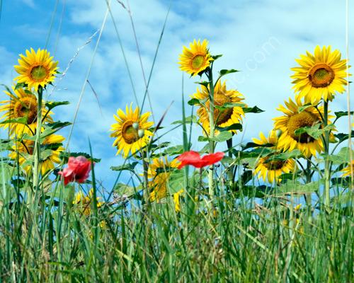 Sunflower & Poppy Field
