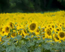 The Painted Sunflowers