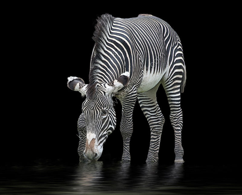 The Zebra and the Mill Pond