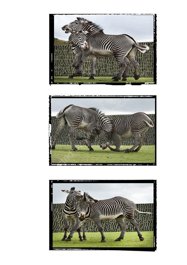 Fighting Zebras Triptych