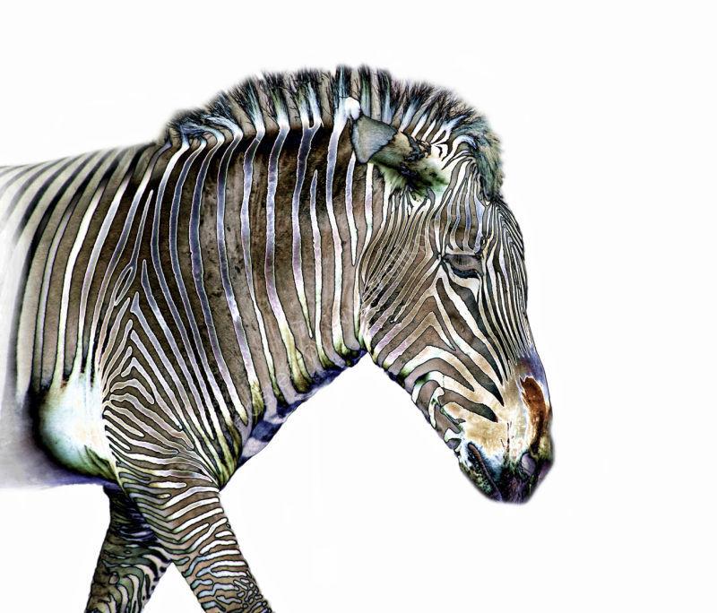 Zephyrus Zebra I