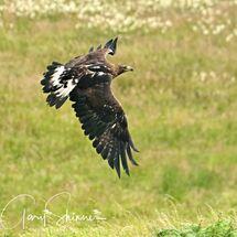 21. Golden Eagle - Flyby