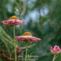 27. Petals in pink