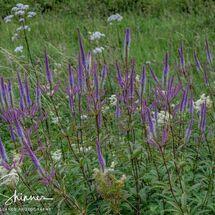 31. Purple & feathery Flowers