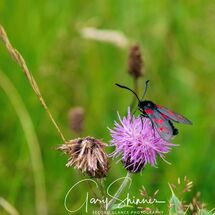 Six-spot Burnet Moth 1