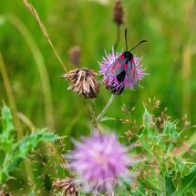 Six-spot Burnet Moth 3