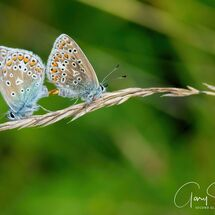 Common Blues mating 1
