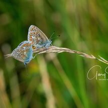 Common Blues mating 3