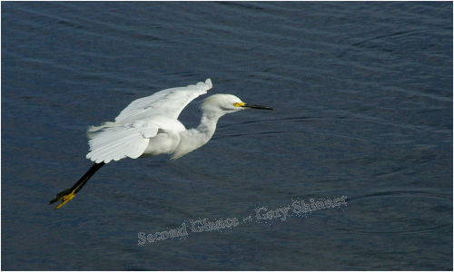 Egret (coming into land)