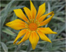 Gazania Bicton Orange
