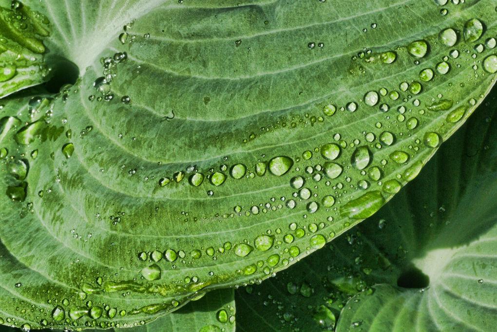 Hosta Leaf & Water  Droplets
