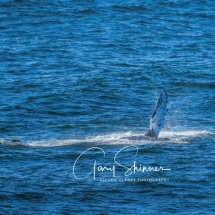 Humpback fin splashing