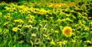Dandelion <br> (Taraxacum officinale)