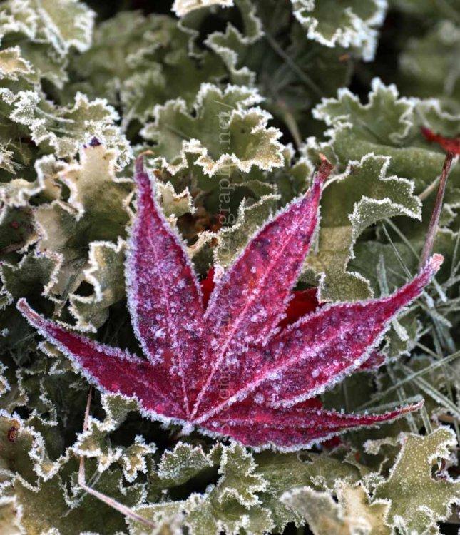 Frozen Acer Leaf