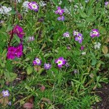 Layby Wild Flowers (10)